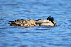 Duck Love Fotografia Stock Libera da Diritti