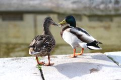 Duck love, by the lake in the park. The mallard. The male birds drakes have a glossy green head and are grey on wings and belly while the females hens or ducks Royalty Free Stock Photos