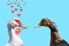 Duck-love-three. A declaration of love between two ducks Royalty Free Stock Photo
