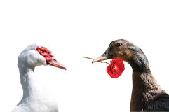 Duck love two. A declaration of love between two ducks Royalty Free Stock Photography