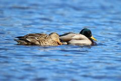 Duck Love Royalty Free Stock Photo