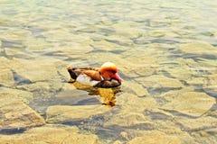 Duck Lucerne lake Stock Photos