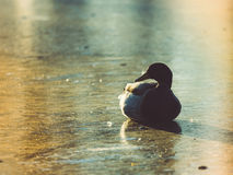 Duck Lying op Ijs bij Zonsondergang - de Wijnoogst ziet eruit stock afbeeldingen