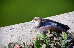 Duck lying to the lake. Sunbathing Stock Photography