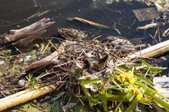 Duck make a nest. Duck make a nest on recyclable garbage Stock Photo