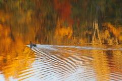Duck Making Ripples na água no outono fotografia de stock royalty free