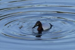 Duck making ripples in water stock footage