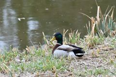 Duck sitting in the nest on the grass at river. Duck and malard  sitting in the nest on the grass at river Stock Photography