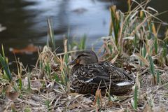 Duck sitting in the nest on the grass at river. Duck and malard  sitting in the nest on the grass at river Stock Photos