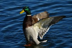 Male wild duck waving wings on water. Duck male in danish harbor with open wings showing his power Stock Image