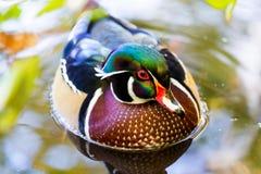 Duck Male de madeira Fotos de Stock