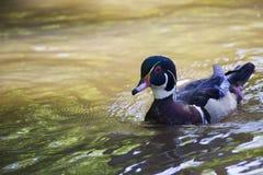 Duck Male de madera Foto de archivo libre de regalías