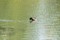 Duck Male en bois Images libres de droits