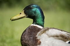 Duck male. Mallard duck male close up, on grass Stock Photos