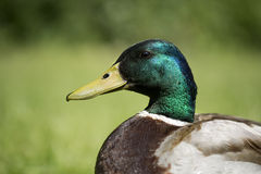 Duck male. Mallard duck male close up, on grass Stock Image