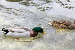 Duck. Male mallard duck swimming in a river. Selective focus Royalty Free Stock Photos