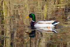 Duck male on pond Royalty Free Stock Image