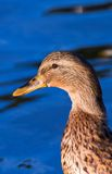 Duck male portrait. A mallard duck male portrait background Royalty Free Stock Image
