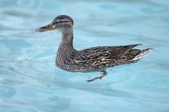 Duck Mallard Royaltyfria Bilder
