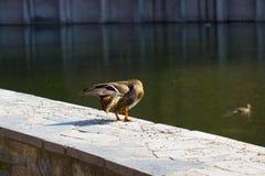 Duck Mallard Lizenzfreie Stockfotos