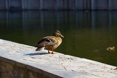 Duck Mallard Stockfotos