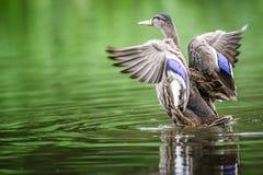 Duck The Mallard Lizenzfreies Stockfoto