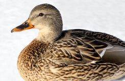 duck mallard Стоковые Фото