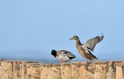 duck mallard Стоковые Изображения