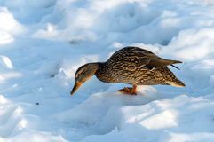 Duck Mallard Arkivfoto