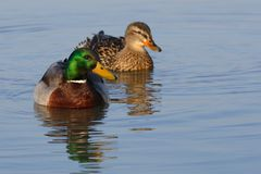 Duck mallard - Anas platyrhynchos Royalty Free Stock Photos