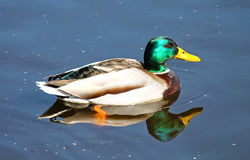 Duck. Mallard with beautiful colors on the head Royalty Free Stock Images