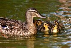 Duck, Mallard, Bird, Water Bird Stock Photo