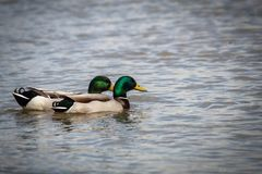 Duck, Mallard, Bird, Water Bird Royalty Free Stock Photography
