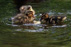 Duck mallard chickens Stock Image