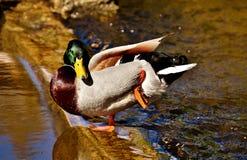 Duck, Mallard, Drake, Water Bird Royalty Free Stock Photography
