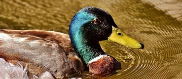 Duck, Mallard, Drake, Water Bird Stock Photo