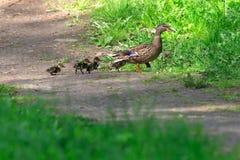 Duck mallard family Royalty Free Stock Image