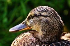 Duck, Mallard, Female Royalty Free Stock Images