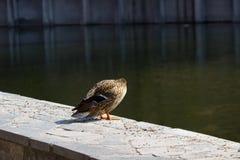Duck mallard. A female mallard duck in a summer day Stock Image