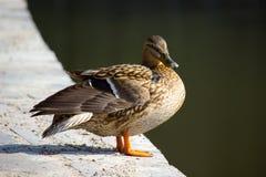 Duck mallard Stock Photo