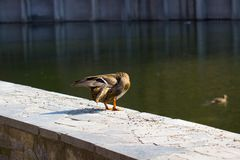 Duck mallard Royalty Free Stock Photos
