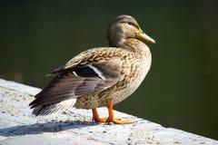 Duck mallard. Female mallard duck in a summer day Stock Images