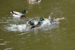 Duck and mallard flying on the water lake. Herd of duck and mallard flying on the water lake Stock Photography