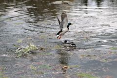 Duck and mallard flying on the water lake. Herd of duck and mallard flying on the water lake Stock Photo