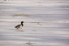 A duck Mallard on the ice-cold lake. A duck Mallard which walks works on the ice-cold lake. The shooting is in the day, there is of the sun. Winter, without Stock Image