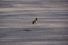 A duck Mallard on the ice in the sun. A duck Mallard which walks works on the ice-cold lake. The shooting is in the day, there is of the sun. Winter, without Stock Photography