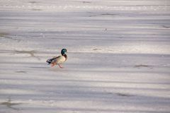 A duck mallard on the ice in the sun. A duck Mallard which works in the sun on the ice-cold lake. It is a shooting in the day, there is a sun. In winter season Stock Photography