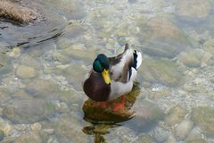 Duck. Mallard duck at Konigsee lake, Germany Royalty Free Stock Photography