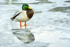 Duck, mallard male Royalty Free Stock Image