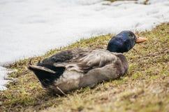 Duck Mallard masculino fotografía de archivo